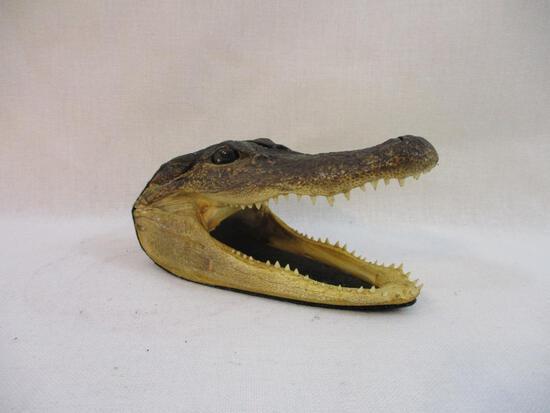 Preserved Alligator Head, farm head, 5 oz