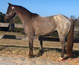 One Royal Pepto 2017 Red Roan AQHA Mare (One Time Pepto X Stand Out Cat)