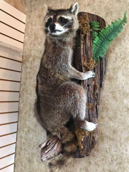 Raccoon, full body, wall mounted