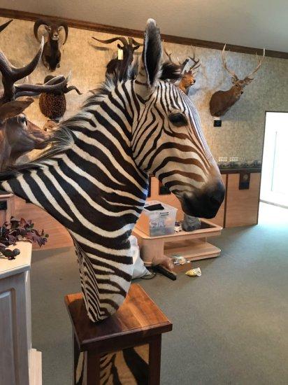 Zebra, right facing