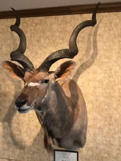 Typical Native Greater Kudu