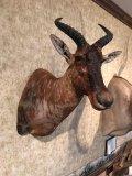 African Tsessebe Antelope (?)