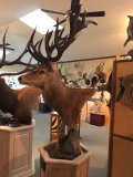 South Pacific Red Deer