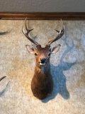 Sika, Dybowski Deer