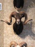 Black Corsican Sheep