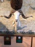 White Corsican Sheep