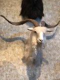 Blonde Catalina Goat (?)
