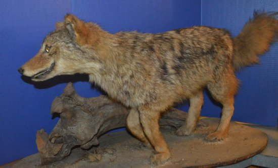 COYOTE MOUNT ON DRIFTWOOD