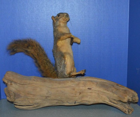 SQUIRREL MOUNT ON DRIFTWOOD