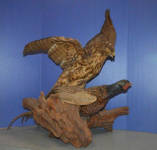 HAWK & PHEASANT MOUNT ON DRIFTWOOD