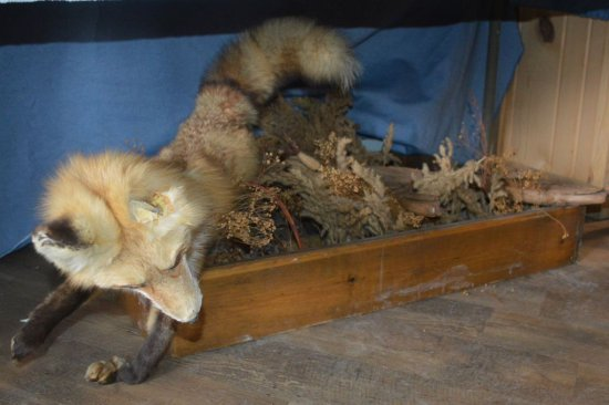 RED FOX MOUNT, DAMAGED EAR & PAW, IN BOX AND