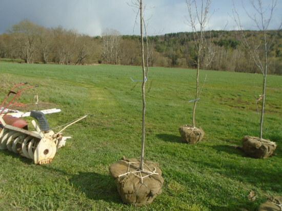 Sugar Maple Tree, Bid Price x2