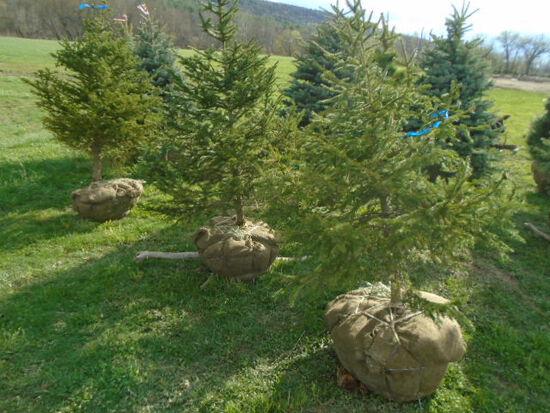 Norway Spruce, Bid Price x3