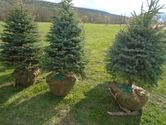 Blue Spruce, Bid Price x5