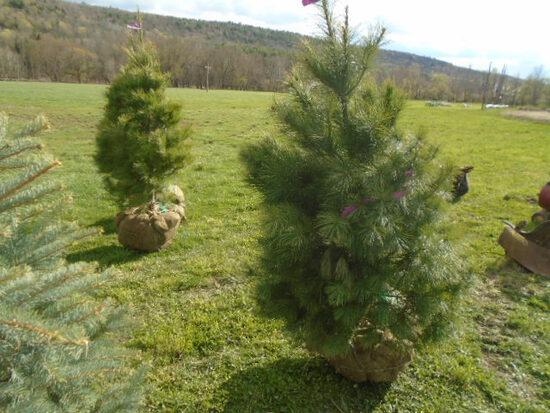 White Pine, Bid Price x3