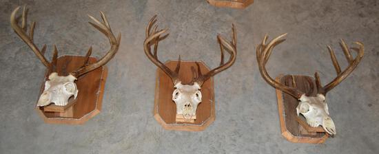 3 Taxidermy White Tail Deer Euporean Wall Mounts