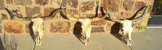 (3) Registered Cattlemen's Texas Longhorn Conservancy Skulls