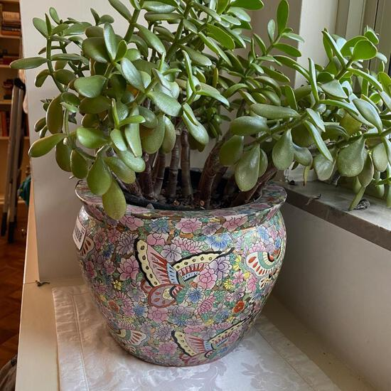 Beautiful Jade Plant in Pink Painted Pot