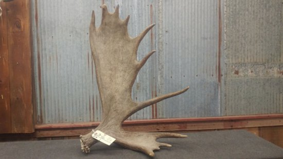 """Self Standing Moose Shed with kick stand great color and condition weighs 15.5 lbs 22"""" wide x 31"""""""