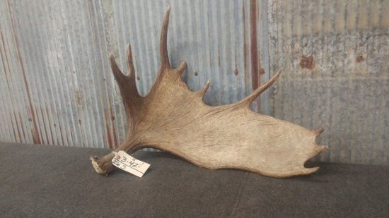 """Moose shed weighs 11.5 lbs great color front and back 29"""" long 24"""" wide"""
