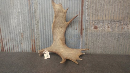 Moose shed weighs 9.9 lbs great color front and back