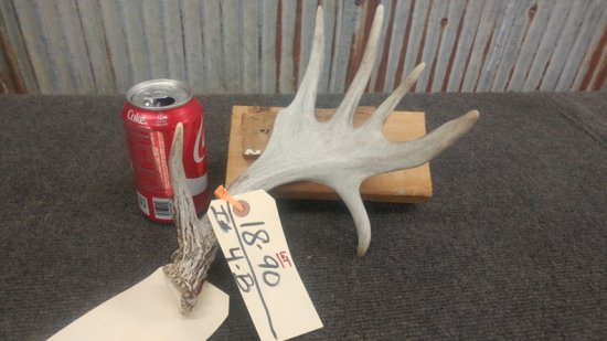 Palmated small 5 point whitetail shed with droptine neat little shed