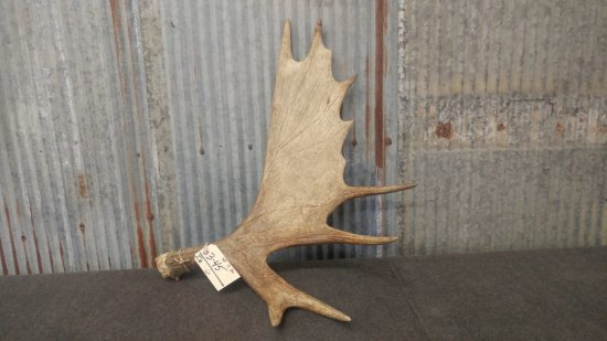 Moose shed weighs 9 pounds great color front and back
