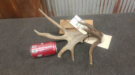 Palmated 8 point whitetail shed with second main beam