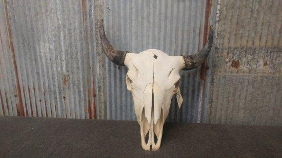 """large Bison skull 23"""" horn spread"""