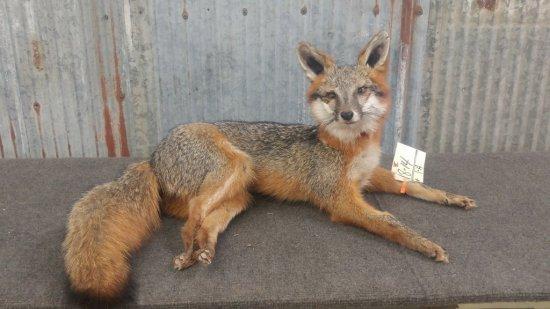 "Full body mount Grey Fox laying down 12"" tall x 27"" long"