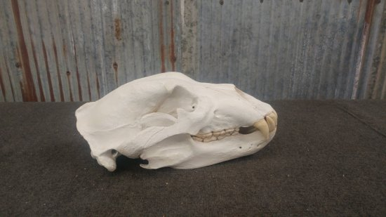 """Alaskan Brown Bear Skull Professionally Cleaned & Whitened 14 6/8 long x 8 1/8"""" wide with paperwork"""