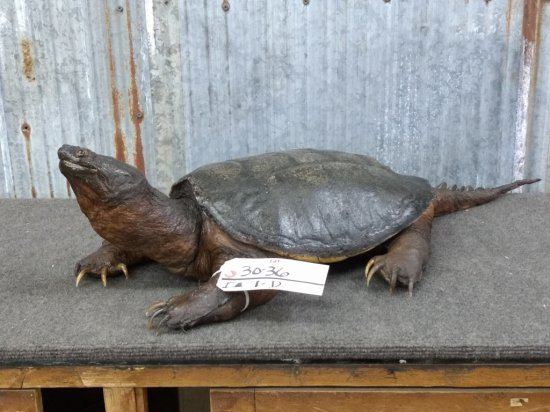 """Full Body Mount Snapping turtle 31"""" Long"""