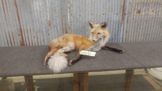 "Full body mount Red Fox laying down 11"" tall x 25"" long"