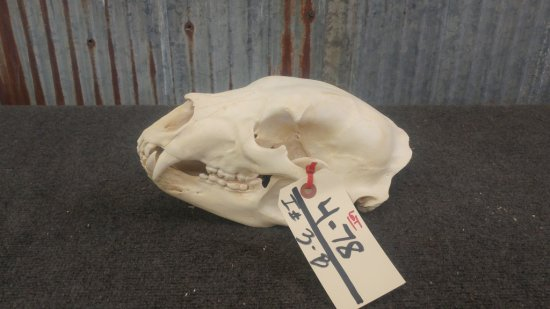 Big Black Bear Skull Professionally Cleaned & Whitened