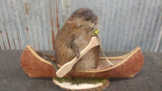 "Muskrat in a canoe new mount 11"" tall"
