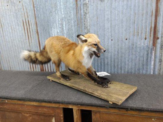"Full Body Mount Red Fox 15"" tall X 39"" long"