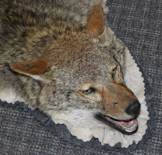 Nice Coyote Rug New mount, measures 60 tip to tip and 58 across