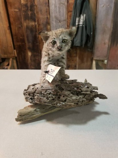baby bobcat on driftwood