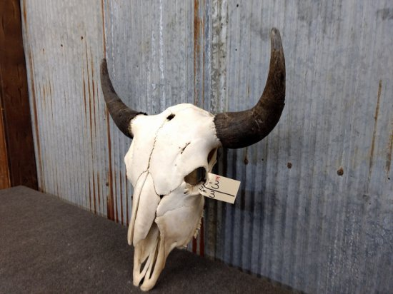 "Large Herd Bull Buffalo Skull 25"" Horn Spread"