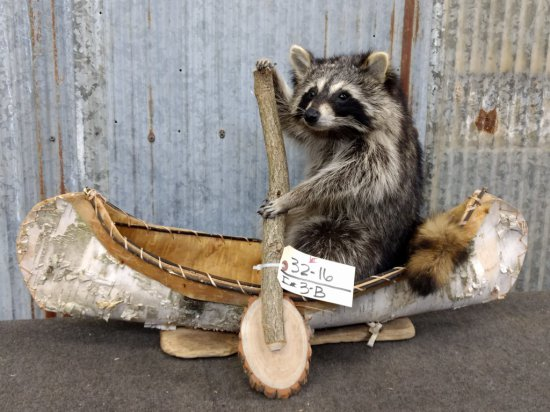 Full Body Mount Raccoon In Native American Crafted Birch Bark Canoe