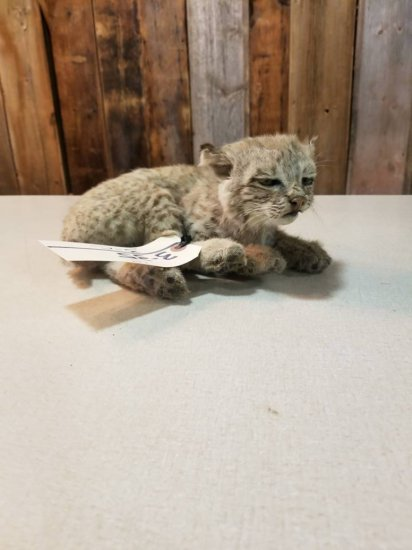 "laying baby bobcat overall dimensions 10"" long x 9"" wide x 6"" tall"