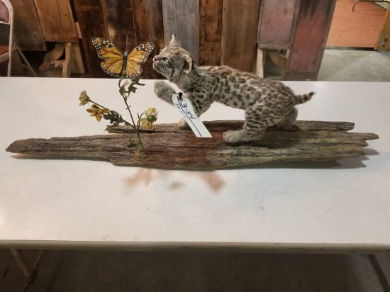 baby bobcat swatting butterfly on treebark