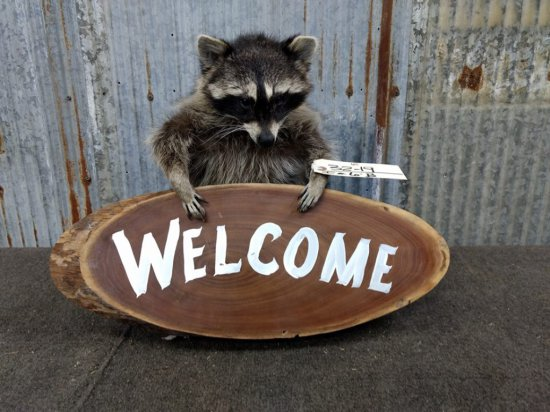 Full Body Mount Raccoon Holding Welcome Sign New Mount