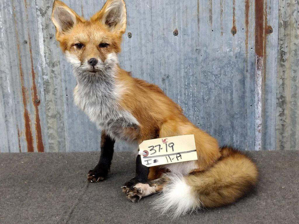 Full Body Mount Red Fox Sitting