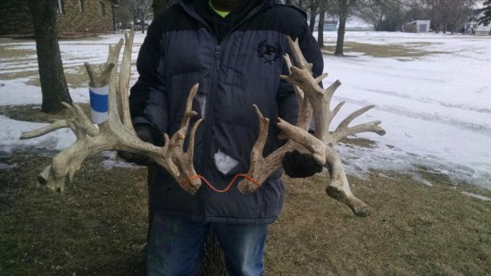 "285"" Whitetail Cut Off Antlers"