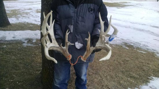 "Set Of Gnarly 236"" Preserve Whitetail Sheds Great Look"