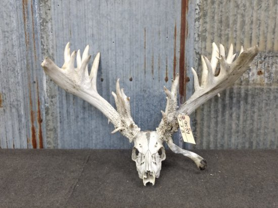 "280"" Whitetail Rack On Skull With Droptines"