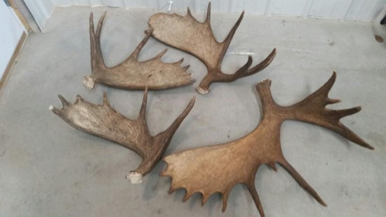37 lbs of brown Canadian Moose Sheds Great Color Front & Back Premium Antler !