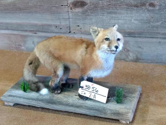 "Juvenile Red Fox Full Body Mount 22"" long X 14"" tall"