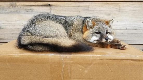 Outstanding Full Body Mount Grey Fox Relaxed Laying Down Pose Taxidermy